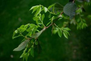 grön trädgren