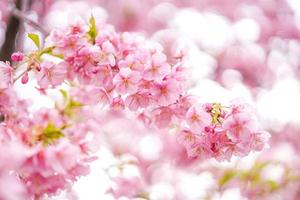 närbild av körsbärsblommor