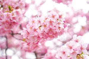 närbild av rosa körsbärsblommor