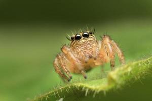 makro närbild av hoppande spindel foto