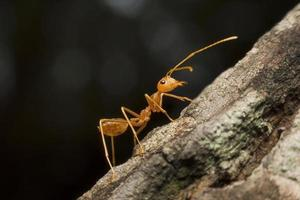 makrovy av röd myra i naturen foto