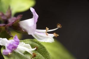 närbild ocimum basilicum blomma foto