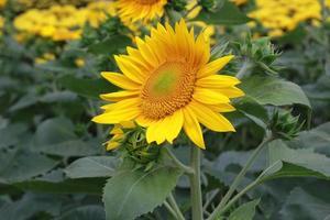 närbild foto av solros