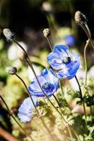 blå blommor i trädgården foto