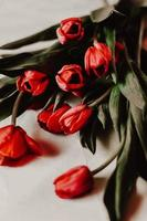 röda tulpaner på vit bakgrund foto