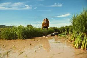 person som planterar i risfält