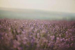 lavendel blomma fält