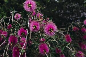 nära skott av rosa blommor foto