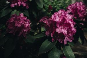 rosa kronbladiga blommor foto