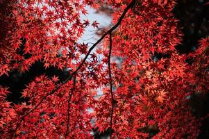 röda lönnlöv foto