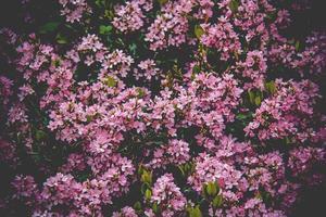 fält av rosa blommor foto