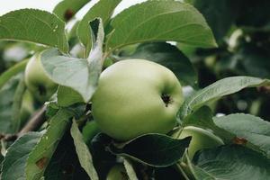 närbild av grönt äpple foto