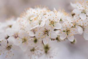 vita kronbladiga blommor