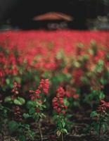 röda blommor med gröna blad foto