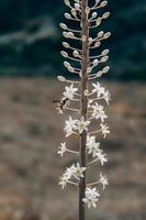 geting på vita blommor foto