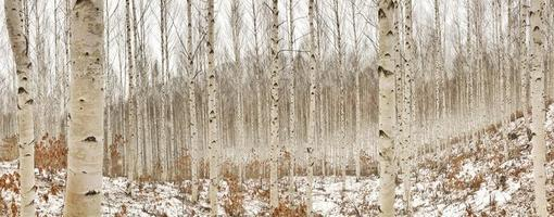 björkträd på vintern foto