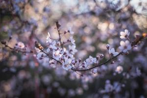 körsbärsröda gren foto