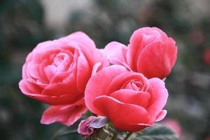 rosor i blom