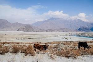 kor som betar nära Katpana-öknen i Skardu, Pakistan foto