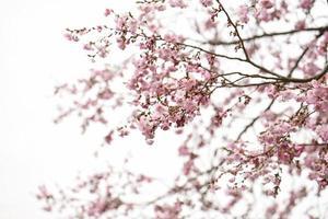 rosa körsbärsblommor i mulen himmel foto