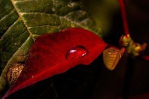 rött blad med dagg