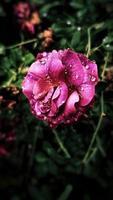 rosa petaled blomma i trädgården foto