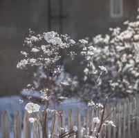vita klusterblommor i trädgården foto