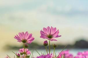 rosa kosmosblommor
