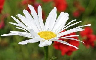 vit tusenskönan närbild