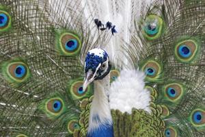 påfågel med fjädrar