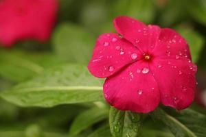röd petaled blomma med regndroppar foto