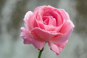rosa ros med dagg foto