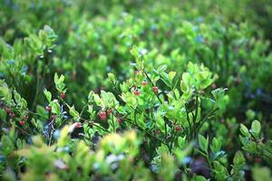 buske med röda bär på den foto