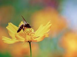 bi på en blomma