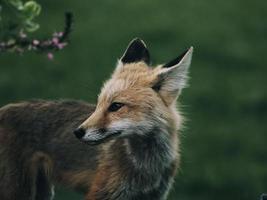 röd räv i naturen foto