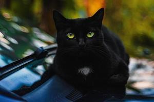 närbild foto av svart katt