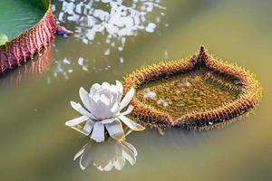 vit lotusblomma på vatten foto