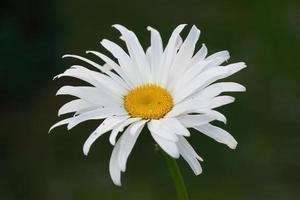 närbild av vit tusensköna