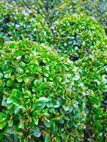 buxus växt foto