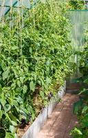 plantor av tomater och paprika foto