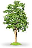 lönn träd isolerad på vitt