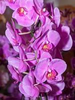 lila orkidéer foto