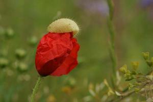 blommande vallmo foto
