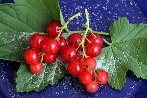 röda vinbär foto