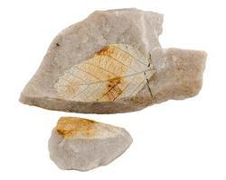 quercus kamischinensis. isolerad på vitt foto