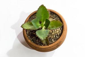 växt med kruka isolerad på vitt foto