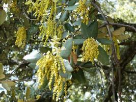manliga pollenbärande katkins på levande ek foto
