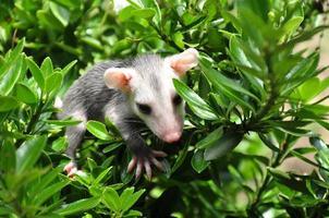 baby possum i busken foto