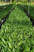 palmplantor i plantskolan.