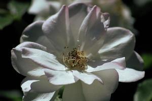 närbild av vit blomma